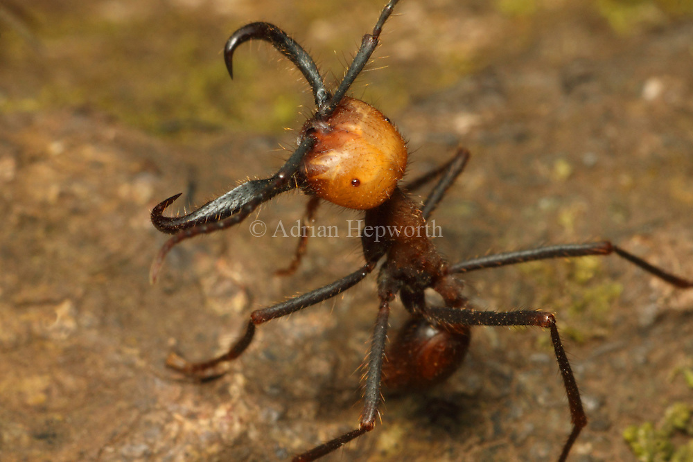 Army ant (Eciton sp.) soldier in defence posture. Rainforest in Rincon de la Vieja National Park, Costa Rica. <br />