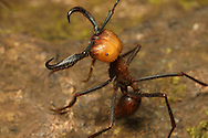 Army ant (Eciton sp.) soldier in defence posture. Rainforest in Rincon de la Vieja National Park, Costa Rica. <br /> <br /> For pricing click on ADD TO CART (above). We accept payments via PayPal.