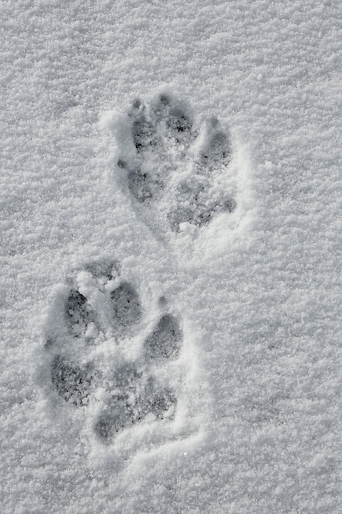 The distinctive track of the gray wolf is an exciting find when hiking in the wilds of Wyoming. Although on many occasions only the track is found, the knowledge that one is sharing the trail with wolves always makes the heart beat a little faster.
