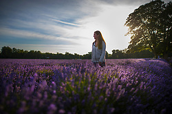 © Licensed to London News Pictures. 05/07/2017. Banstead, UK. Early morning sunshine bathes the crop at Mayfield Lavender Farm on the North Downs, where lavender production first flourished 100 years ago. Organic oils, fragrances, food, lavender bunches and other gifts are sold to visitors to the farm and at a nearby nursery and gift shop. Images taken with the permission of Mayfield Lavender. Photo credit: Peter Macdiarmid/LNP