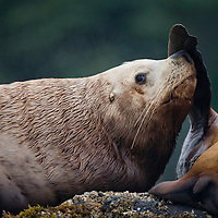 USA, Alaska, Tongass National Forest, Steller sea lions (Eumetopias jubatus) resting at haulout on Yasha Island in Frederick Sound