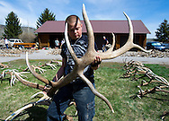 PRICE CHAMBERS / NEWS&amp;GUIDE<br /> Nicholas Frank, 12, looks at an unusual elk antler while volunteering Saturday to help sort the massive pile of sheds collected this year on the National Elk Refuge.