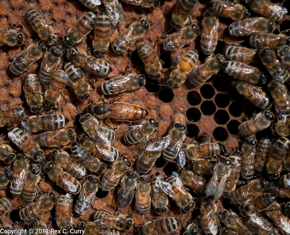 A queen honey bee is surrounded by worker bees at John Talbert's Sabine Creek Honey Farm in Royce City on May 7, 2011.  He and partner Blake Shook run a commercial honey bee business and teach classes..