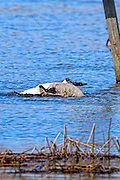Canada Goose - Branta canadensis bathing with its feet up and its head under the water