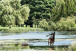 © Licensed to London News Pictures. 23/06/2017. Surrey, UK. A stag grazes on tress as it stands in water.  Deer cool off in the water at Bushy Park in Surrey today 23rd June 2017.  Photo credit: Stephen Simpson/LNP