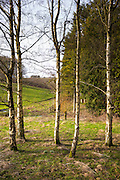 Copse of Silver Birch trees, Betula pendula, in wintertime in Swinbrook in The Cotswolds, UK