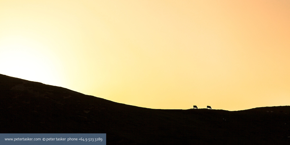 Graphic sunset silhouette of cattle on crest of hill. Port Jackson, Coromandel Peninsula, Auckland, New Zealand.