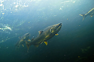 Chinook Salmon<br /> <br /> Christopher Morey/Engbretson Underwater Photography