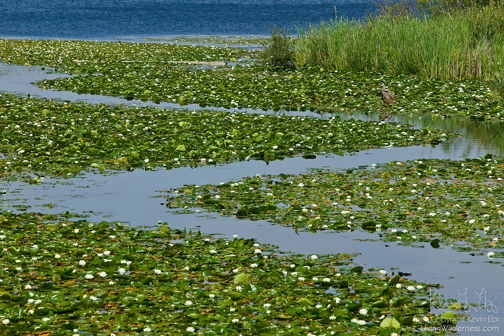 Fragrant Water Lilies growing off Foster Island leave just a narrow 'S' pattern in the waters of Lake Washington near the Seattle Arboretum.