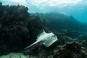 Southern diamond stingray (Dasyatis dipterura)<br /> Tower Island<br /> Galapagos<br /> Pacific Ocean<br /> Ecuador, South America