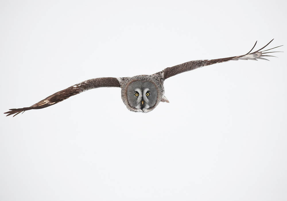 WILD GREAT GREY OWL; STRIX NEBULOSA; HUNTING; PREDATOR; WINTER; FEBRUARY; COLD; BIRD OF PREY; EUROPE; FINLAND