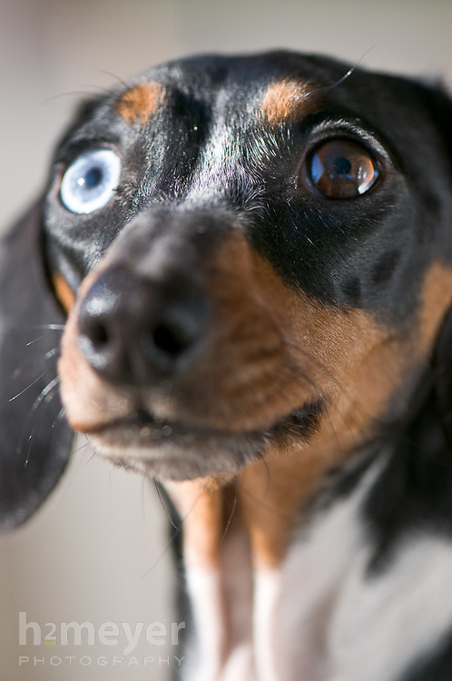 Frankie - Dachshund with blue and brown eyes , Pet Portrait Photography