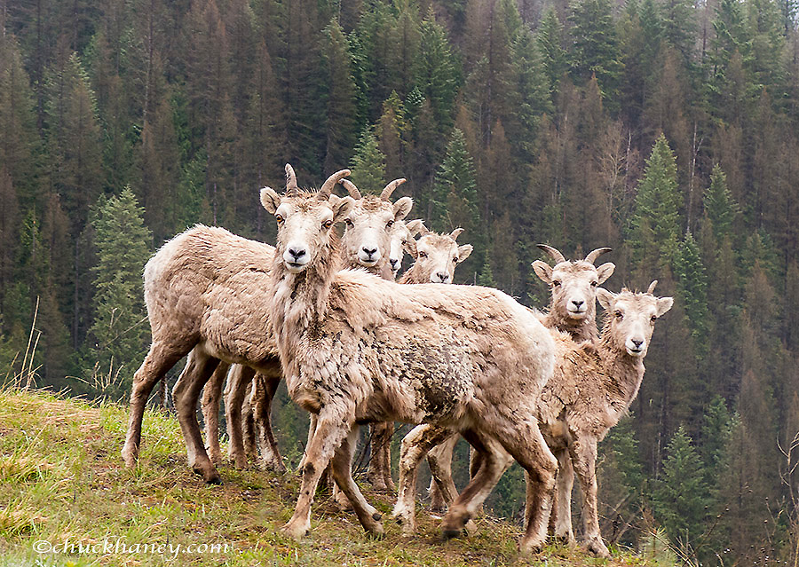 Bighorn sheep ewes and lambs at Kootenay Pass, British Columbia, Canada