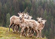 Bighorn sheep ewes and lambs at Kootenay Pass, British Columbia, Canada