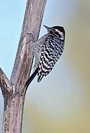 Ladder-backed Woodpecker - Picoides scalaris - female