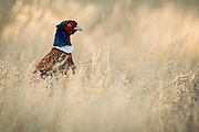 "Although phesants originated in Asia and have been bred by humans for over two thousand years, the ""Common"" Pheasants were first introduced into New Zealand from Great Britain as early as 1842.  According to Fish & Game New Zealand, the Ring-necked pheasant that is seen in the wild today is a hybrid of three breeds – Blacknecks, Chinese Ringnecks and Mongolian pheasants."