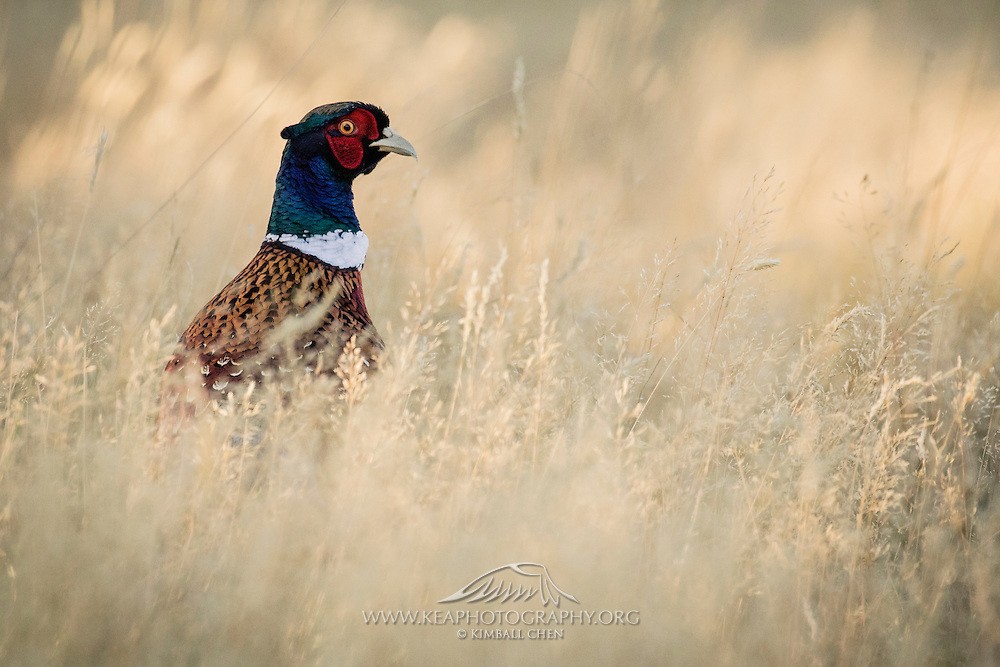 """Although phesants originated in Asia and have been bred by humans for over two thousand years, the """"Common"""" Pheasants were first introduced into New Zealand from Great Britain as early as 1842.  According to Fish & Game New Zealand, the Ring-necked pheasant that is seen in the wild today is a hybrid of three breeds – Blacknecks, Chinese Ringnecks and Mongolian pheasants."""