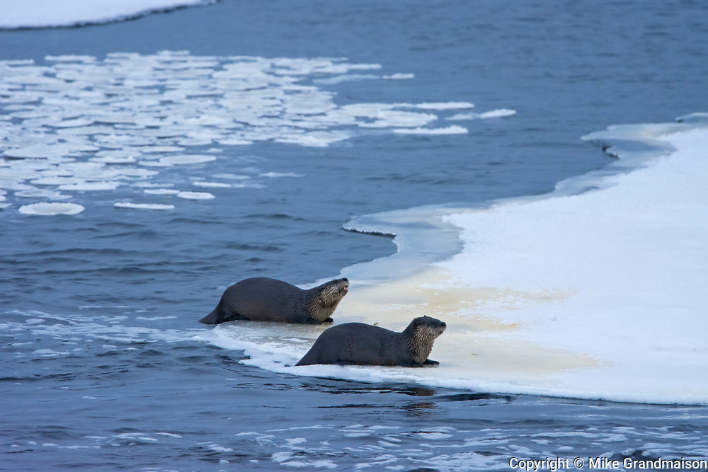North American river otter (Lontra canadensis) at edge of ice. <br />