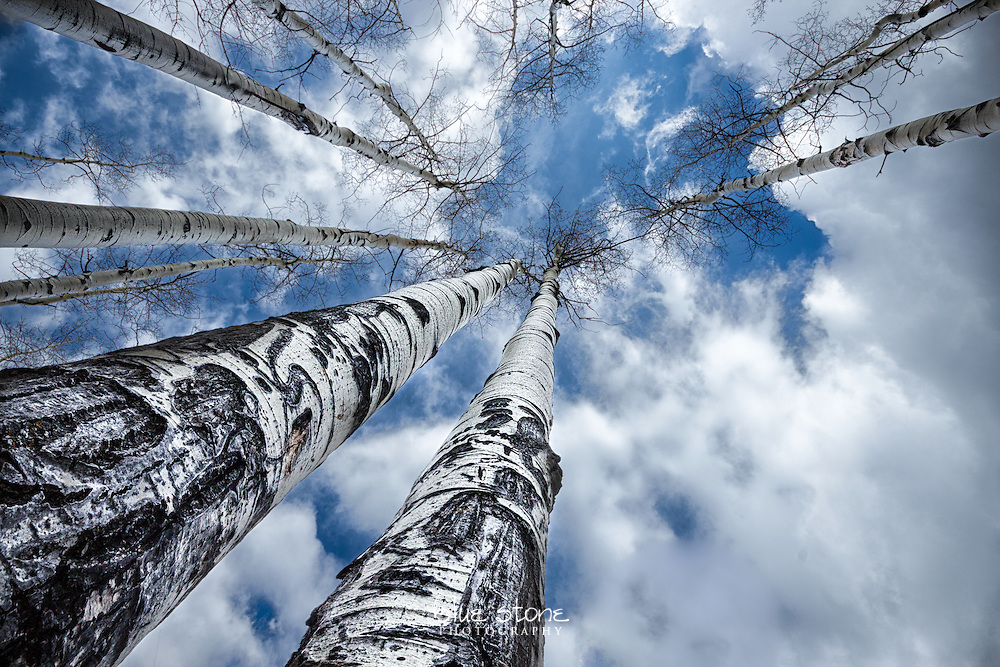 Spring aspens break through winter clouds to reach life-giving sunlight.<br />
