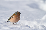 Chaffinch, in snow, New Zealand