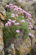 Thrift growing on the rocks on the coast in Cornwall, England, UK