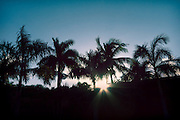USA, Florida, Boca Raton.  The Florida sun sets behind a grove of royal palm trees (Roystonea oleracea).