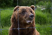 A brown bear at the Alaska Wildlife Conservation Center, Portage, Alaska<br /> <br /> Photographer: Christina Sjogren<br /> <br /> Copyright 2018, All Rights Reserved