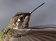 Water droplets rest on the beak of a hummingbird as it drinks from Huntsmen Spring along Marshall Gulch Trail, Mount Lemmon, Coronado National Forest, Sonoran Desert, Summerhaven, Arizona, USA.