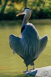 United States, Washington, Seattle, Japanese Garden, Great Blue Heron (Ardea herodias) near pond