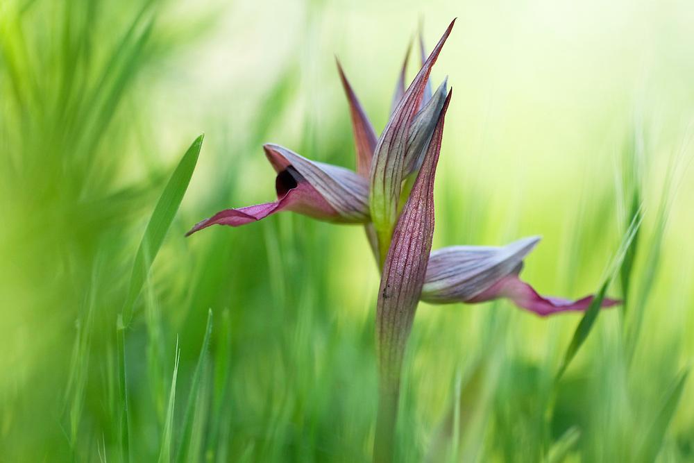 Apulia; Gargano Peninsula; Italy; Monte Sacro; Serapias lingua; Tongue Orchid