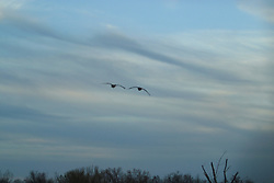09 April 2005:   a pair of Canadian geese fly in formation blurring into the late day sky.
