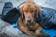 A sleepy dog (golden retriever) gets warm under a down jacket, John Muir Wilderness, Inyo National Forest, California