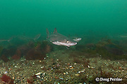 spiny dogfish, piked dogfish, spurdogs, or dog sharks, Squalus suckleyi (formerly Squalus acanthias ) and <br /> red sea urchins, Strongylocentrotus franciscanus, Quadra Island off Vancouver Island, British Columbia, Canada, ( North Pacific Ocean )