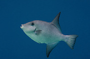 Ocean Triggerfish (Canthidermis sufflamen)<br /> BONAIRE, Netherlands Antilles, Caribbean<br /> HABITAT &amp; DISTRIBUTION: Open water, above outer reefs and drop-offs. <br /> Florida, Bahamas, Caribbean, Gulf of Mexico, Bermuda south to Brazil.