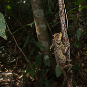 Cross-bearing Horned Lizard (Acanthosaura crucigera) in situ in Kaeng Krachan national park, Thailand