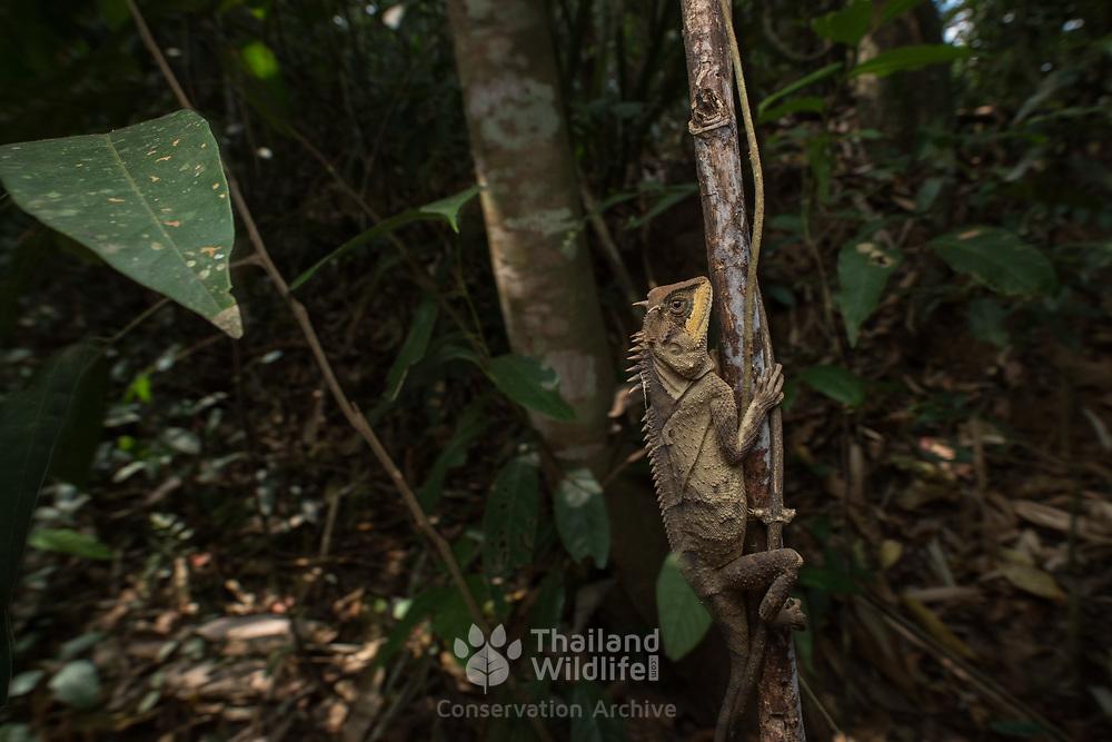 Cross-bearing Horned Lizard (Acanthosaura crucigera) in situ in Kaeng Krachan national park, Thailand