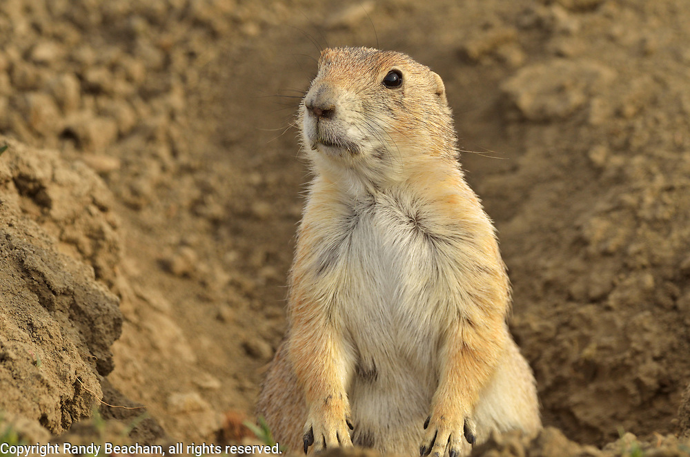 Black-tailed prairie dog in the Great Plains of Montana at American Prairie Reserve. South of Malta in Phillips County, Montana.