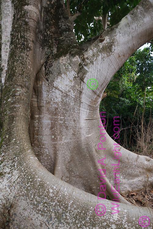 Base of large ficus tree exhibits elegant curves, Oahu, Hawaii, © 2010 David A. Ponton
