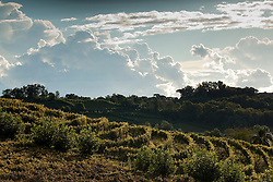 Vinicola em Bento Goncalves./ Vineyard in Bento Goncalves. Ano/Yera 2010