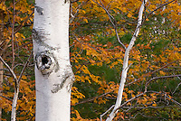 Birch trees in autumn Grafton Notch Maine USA
