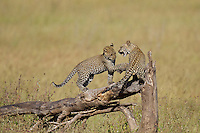 Leopard (Panthera pardus) cubs at play, Serengeti