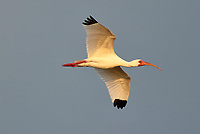 White Ibis (Eudocimus albus), in flight, Wakodahatchee Wetlands, Delray Beach, Florida, USA   Photo: Peter Llewellyn