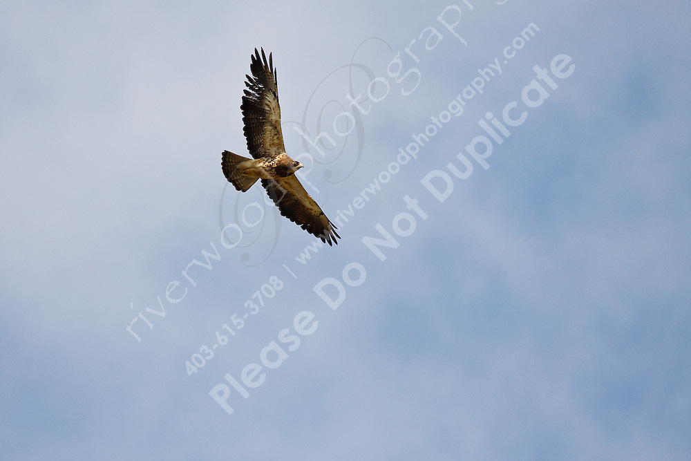A Swainsons Hawk soars high above me on a beautiful sunny summer day on the prairies.  Seeing this really makes me want to go flying!..East of Calgary, near Carseland, AB..©2009, Sean Phillips.http://www.Sean-Phillips.com