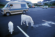 A mountain goat (Oremanos americanus) nanny and her kid lick up anti-freeze from the Logan Pass Visitor Center parking lot. The anti-freeze has a sweet flavor, is highly toxic, and will kill the animals if consumed in enough quantity.