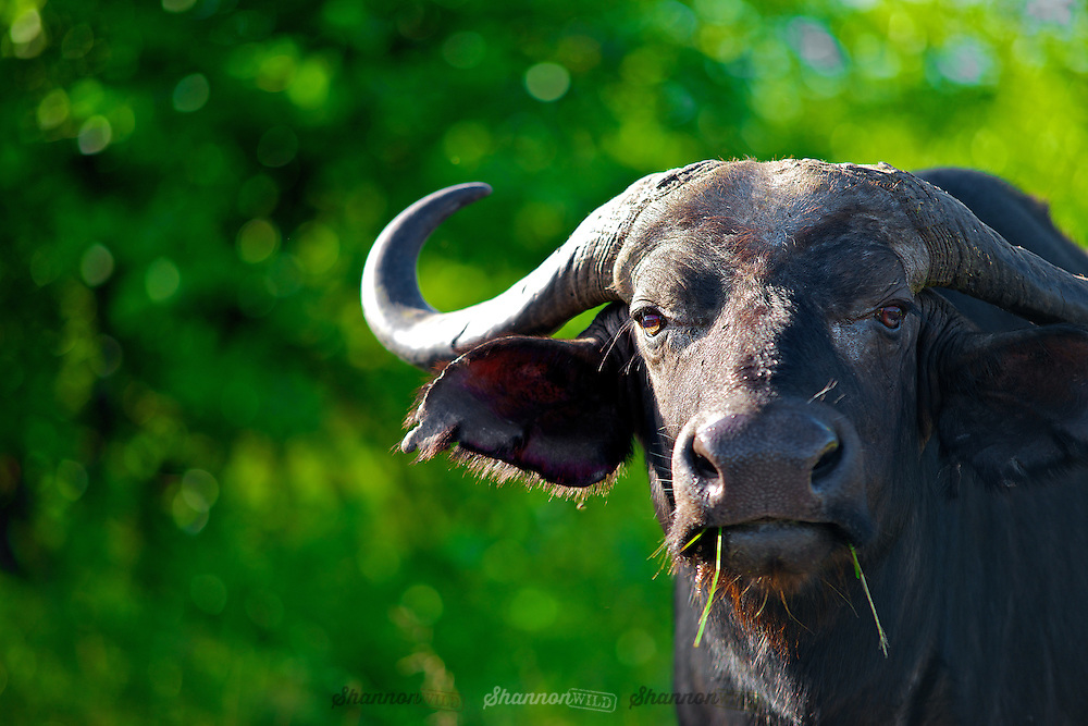 African buffalo or Cape buffalo (Syncerus caffer) in Kruger National Park.