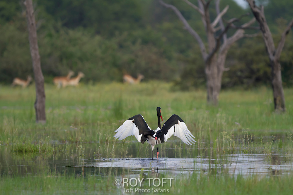 A saddle-billed stork walking in the water with wings extended, Botswana, Africa