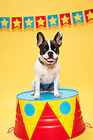 Black and White French Bulldog sitting on a circus pedestal Looking towards camera. Photographed at the Photoville Photo Booth September 20, 2015
