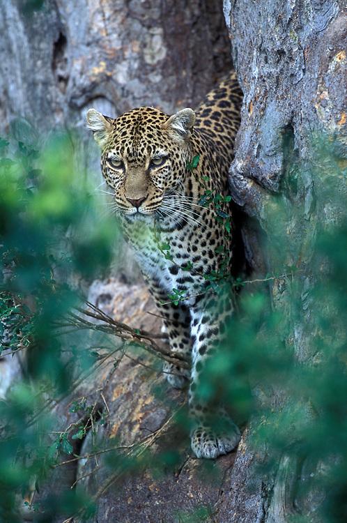 Africa, Kenya, Masai Mara Game Reserve, Leopard (Panthera pardus) standing on tree trunk along Telek River
