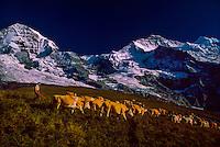 Herding cows in the Bernese Oberland above Kleine Scheidegg, Switzerland