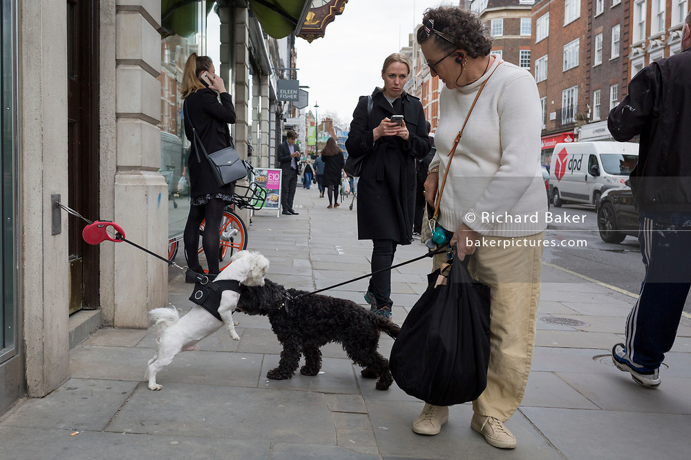 A lady pet owner's dog makes friends with another animal outside shops in Marylebone, on 16th April 2018, in London, England.